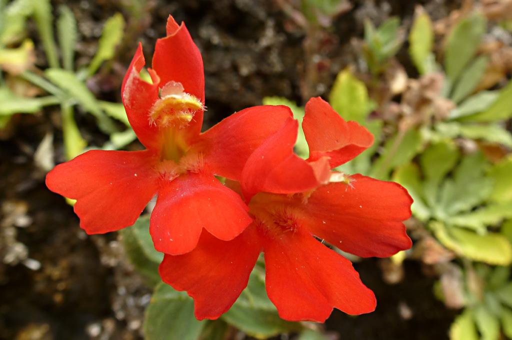 Mimulus eastwoodiae - Eastwood's monkey-flower, Corona